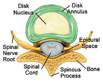 Normal spinal disc structure
